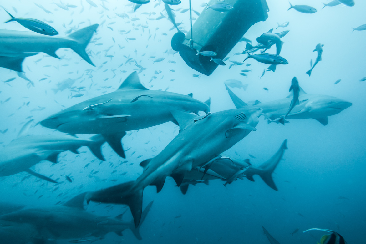 Fiji Shark Diving with BEQA Adventure Divers, Pacific Harbour